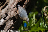 Algerian Nuthatch (female)_A8T0508.jpg