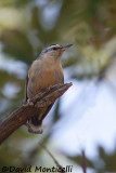 Algerian Nuthatch (male)_A8T0074.jpg