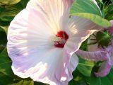 canadian hibiscus