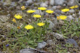 Mouse-eared hawkweed  Hieracium pilosella