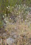 Diffuse knapweed Centaurea diffusa