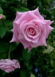PINK ROSE OF TEXAS