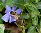 SMALL BEE IN FLOWER.jpg