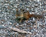 GROUND SQUIRREL.1.jpg