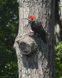 PILIATED WOODPECKER.1.jpg