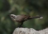Grey Crowned Babbler....Pomatostomus temporalis