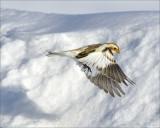Bruant des neiges (Snow Bunting)