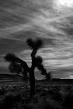 L38 Joshua Tree (Santa Rosa Flat)