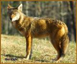Coyote In Cades Cove