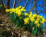 Hillside Daffodils