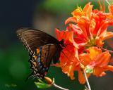 Swallowtail on Flame Azalea