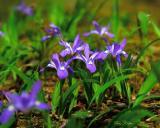 Crested Dwarf Irises