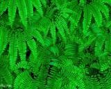 Christmas and Maidenhair Ferns