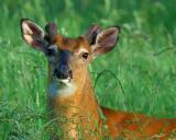 Returning Antlers on Split Ear