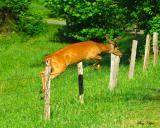 Jumping Buck in Velvet