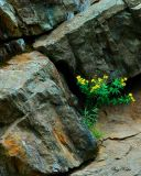 Tick Seed Sunflower Among the Rocks