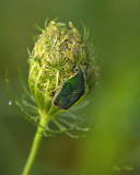June Bug on Queen Anne's Lace
