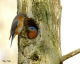Blue Birds - Nesting Pair