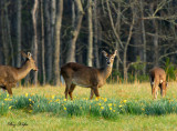 Expectant Doe in Daffodils