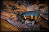 Jungle gem II - Pill millipede