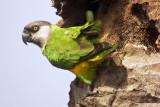 Senegal Parakeet, Tanji, The Gambia