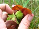 Sarracenia purpurea ssp purpurea (flower )