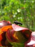 Sarracenia purpurea ssp. purpurea flower ( with visitor )