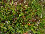 Sarracenia purpurea ssp purpurea  (massive purp view above)