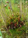 Sarracenia purpurea ssp purpurea