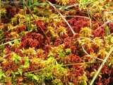 Sphagnum (tricolore)