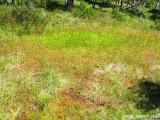 colony Drosera rotundifolia
