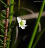 Drosera rotundifolia and flower