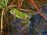 Nice green frog ( Pelophylax lessonae )