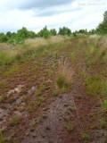 massive colony of  Drosera intermedia