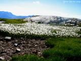 Eriophorum scheuchzeri Hoppe , Massif des Grandes Rousses 2009