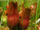Sarracenia purpurea ssp. purpurea Isère,France 2009