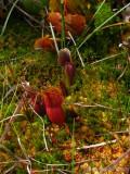 Sarracenia purpurea ssp. purpurea Isère,France 2009