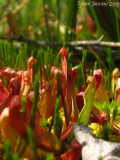 Young seedlings!! Sarracenia purpurea ssp. purpurea Isère,France 2009