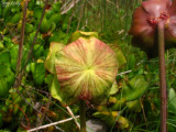 Lightly red coloured flower between all the red and green flowers
