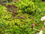 Small lizard in the soggy bog