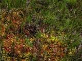 D.rotundifolia Chaine de Belledonne,Isère,France 2009