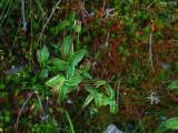 P.grandiflora ssp. rosea 1440m .Chaine de Belledonne,Isère,France 2009