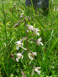 Epipactis palustris (Massif du Vercors)
