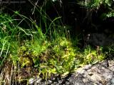 Pinguicula vulgaris and leptoceris ( Massif des Grandes Rousses )