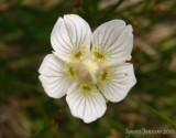 Parnassia palustris (Massif des Grandes Rousses)