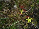 Pinguicula vulgaris , Pinguicula alpina and Drosera rotundifolia( Massif des Grandes Rousses )