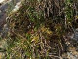 Pinguicula alpina ( Massif des Grandes Rousses )