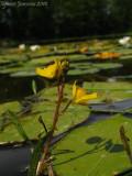 Utricularia australis ( Isère )