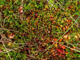 Sarracenia purpurea ssp. purpurea Isère,France 2010