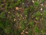 Pinguicula vulgaris Chaîne de Belledonne
